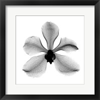 Framed Orchid #3 X-Ray