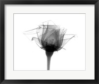 Rose #10 X-Ray Framed Print