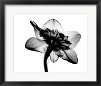 Framed Daffodil #1 X-Ray