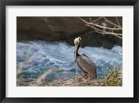 Framed Pelican Stare
