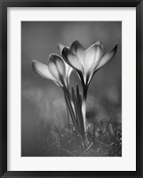 Framed Crocus BW