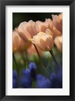 Framed Tulip No 1