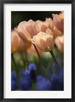 Framed Tulip No 1
