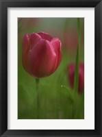Framed Tulip No 2