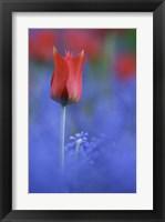 Framed Tulip No 3