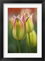 Framed Tulip No 4