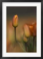 Tulip No 5 Framed Print