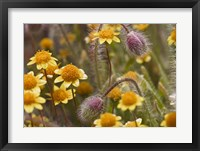 Framed Antelope Valley Wildfowers