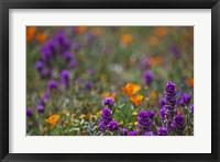Framed Poppies Purple Forground