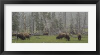 Framed Bison Grazing in Snow