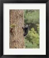 Framed Black Bear Cub Climbing