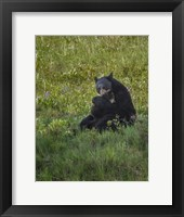 Framed Black Bear Hugging Cub