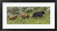 Framed Sow and Cubs Walking