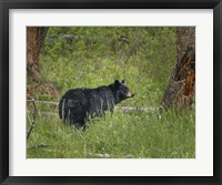 Framed Black Bear Sow Watching Cubs