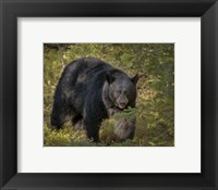 Framed Black Bear Sow