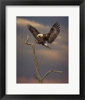 Framed Eagle Landing on Branch