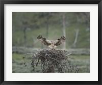 Framed Osprey Lands on Nest With Chick