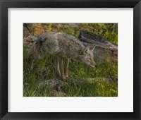 Framed Stalking Coyote
