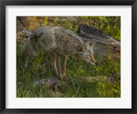 Framed Stalking Coyote