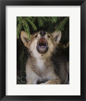Framed Wolf Pup Howls