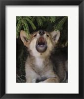 Framed Wolf Pup Howls