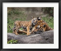 Framed Malayan Tiger Cub: Priceless