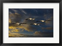 Framed Pelican Foursome
