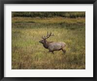 Framed Bull Elk Yellowstone