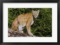 Framed Cougar