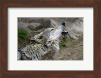 Framed Mexican Wolf