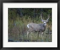 Framed Mule Deer Buck