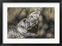 Framed White Tiger Headbutt