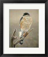 Framed Hawk