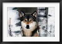 Framed Wolf Peeking Through The Birch