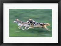 Framed Running Wolves
