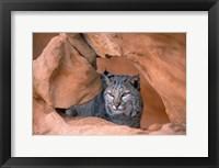 Framed Bobcat in Desert Landscape