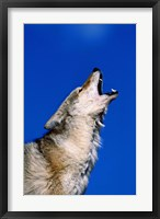 Framed Wolf Howling with Head Back