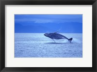 Framed Whale Jumping out of Ocean