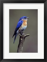 Framed Beautiful Bluebird