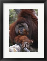Framed Close Up of Orangutang