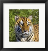 Framed Close Up of Orange and Black Tiger