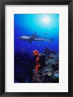 Framed Shark in Crystal Blue Waters