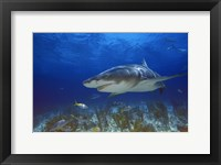 Framed Shark Swimming Under Water