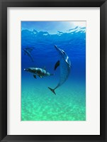 Framed Bottle Nosed Dolphins