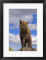 Framed Brown Bear Roaring on Rock