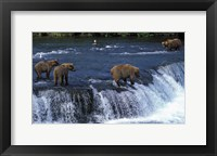 Framed Group of Brown Bears in Lake