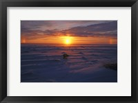 Framed Lone Polar Bear Against Sunset