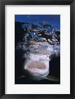 Framed Great White Shark Showing Teeth