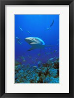 Framed Shark Surrounded by Fish