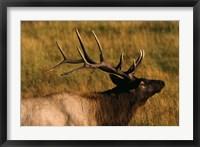 Framed Close Up of Moose Antlers
